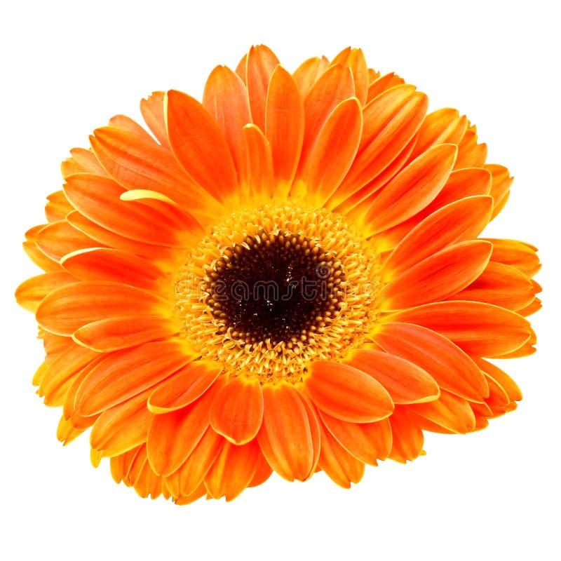 Orange daisy flower isolated on white stock photos