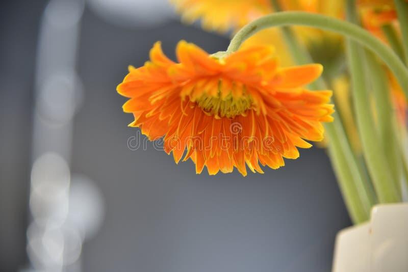 Orange Daisy Flower Selective Focus Photography royalty free stock photo