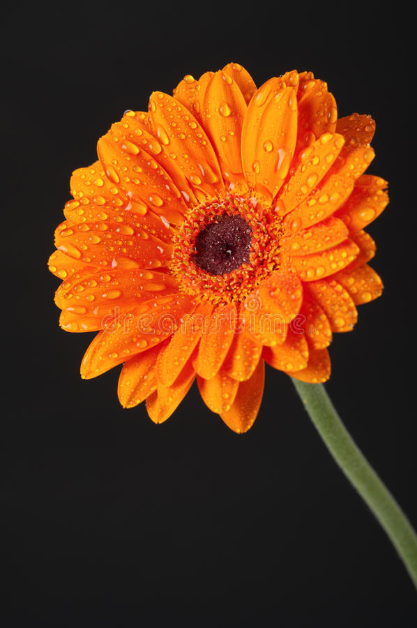 Orange Daisy Gerbera Flower on black