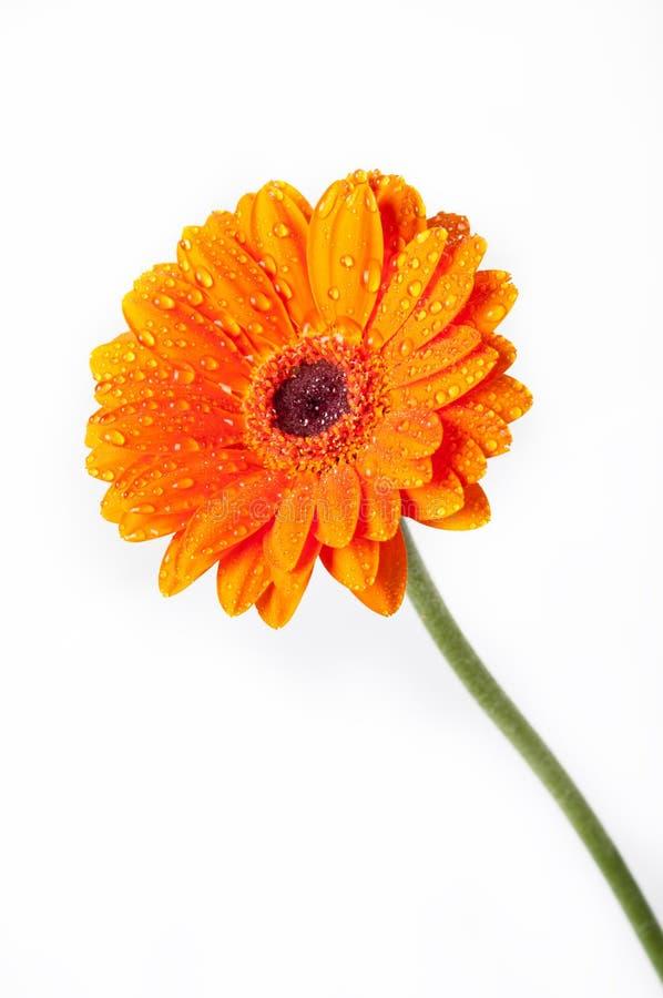 Orange Daisy Gerbera Flower On White Royalty Free Stock Photography