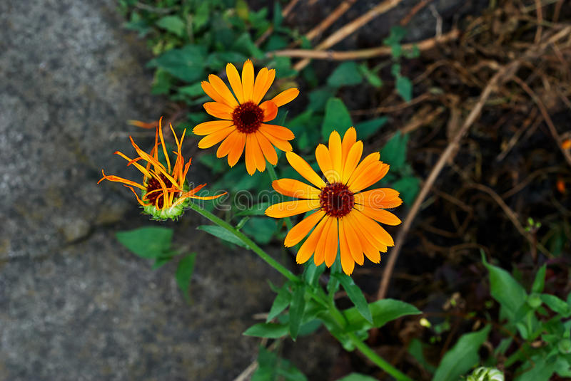 Orange Daisy on green background royalty free stock photo