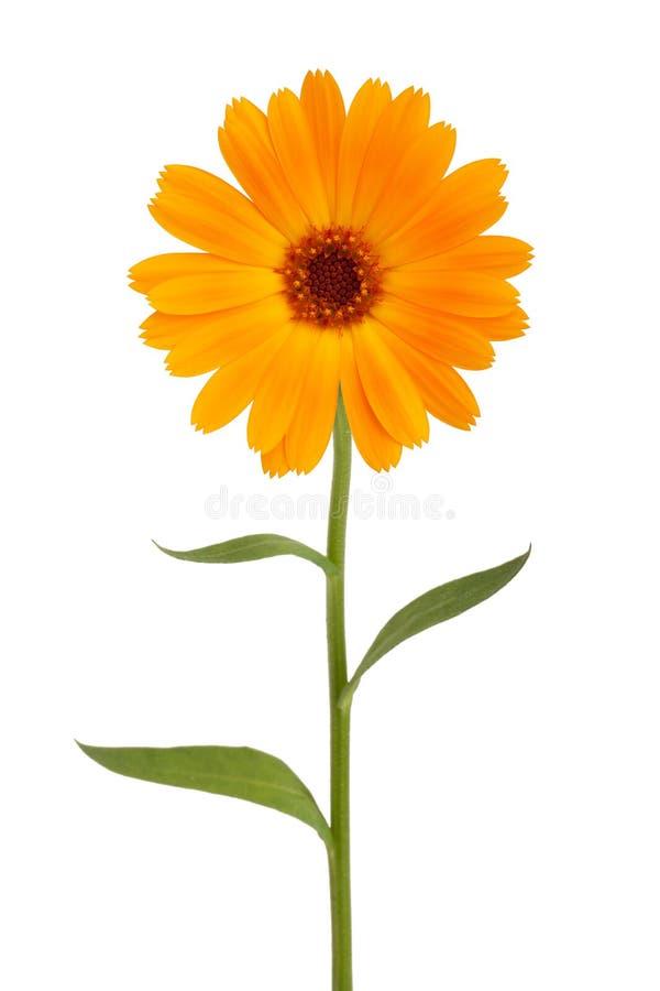 Orange daisy with long stem stock image