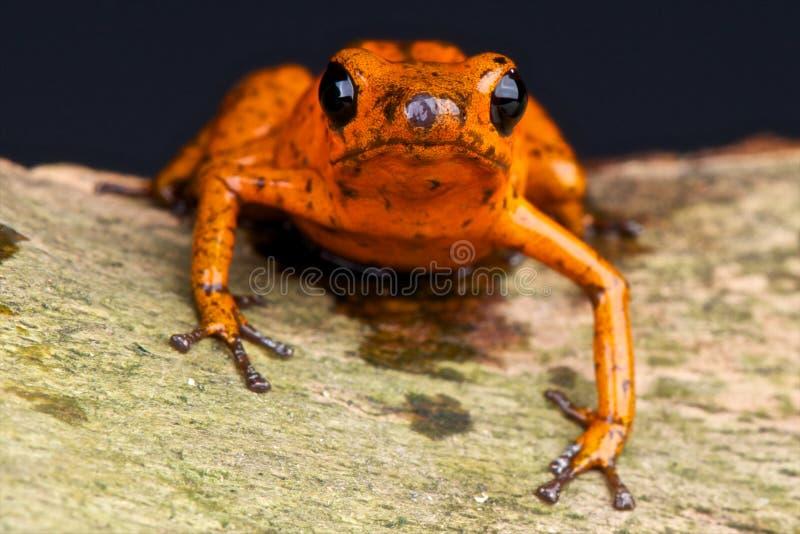 Orange dart frog royalty free stock photography