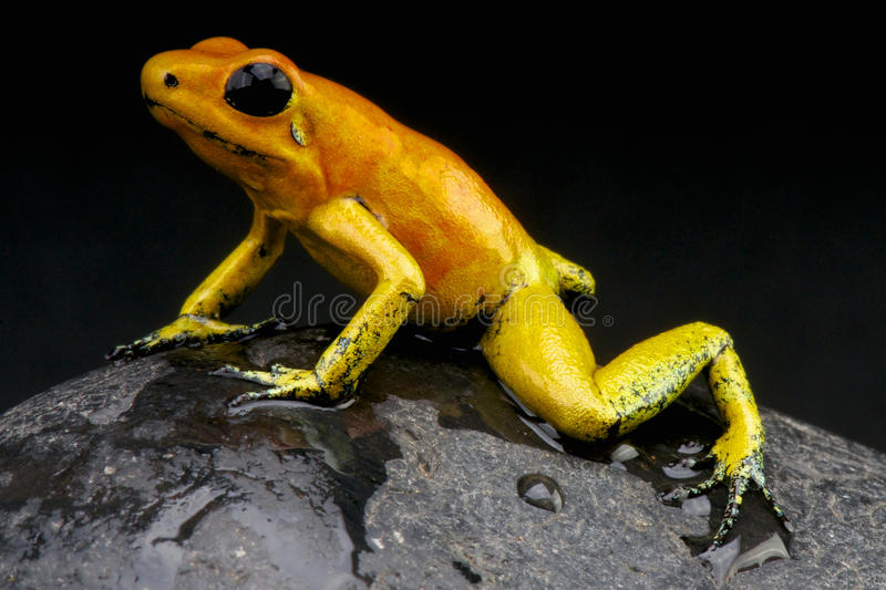 Orange dart frog / Phyllobates terribilis. Considered the most toxic animal alive on the planet today, the golden dart frog from Colombia royalty free stock photo