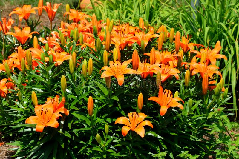 Orange day lilies stock photos