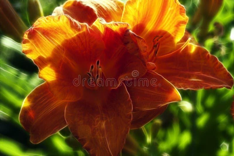 Orange Day Lily stock photos