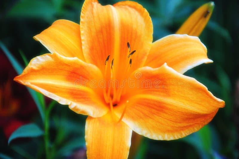 Orange Day Lily stock image