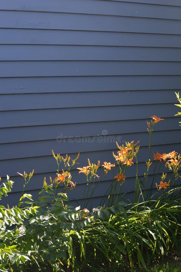Orange daylilies för solljus på mörkt - grå vägg arkivfoton
