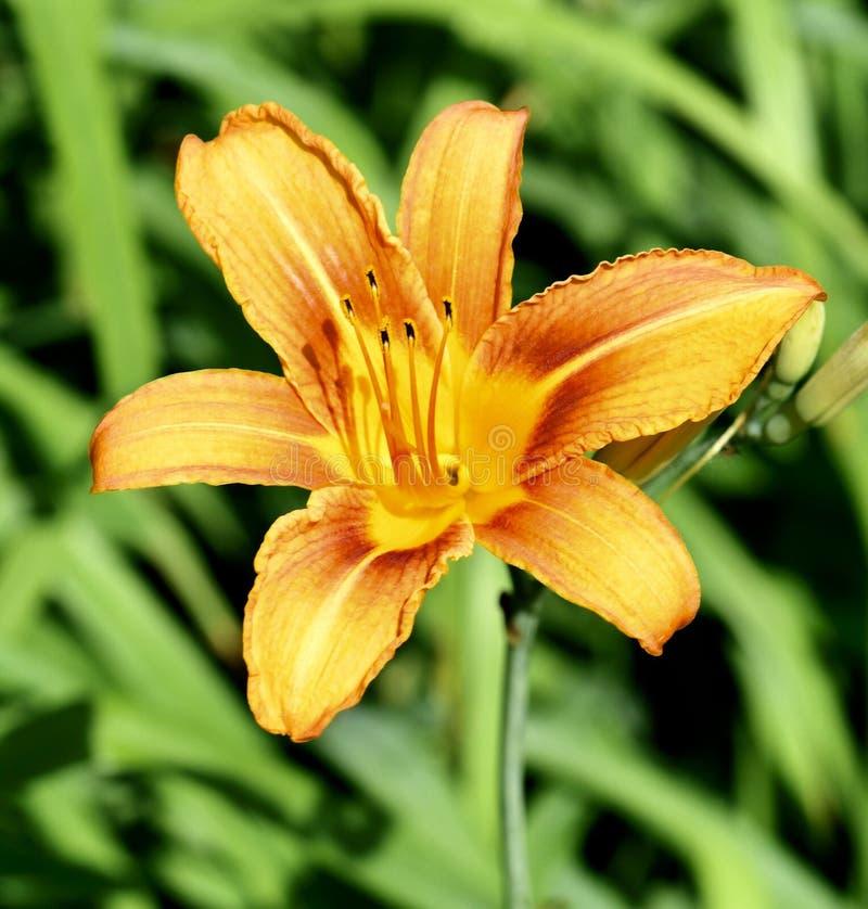 Orange daylily arkivbild