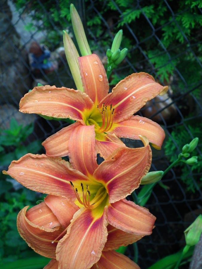 Orange daylily royaltyfri fotografi