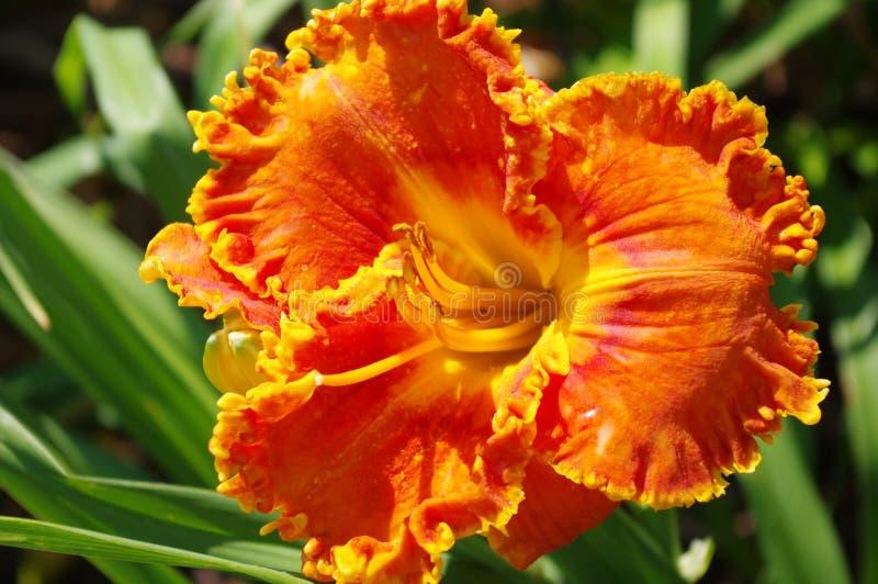 Orange daylily arkivfoto