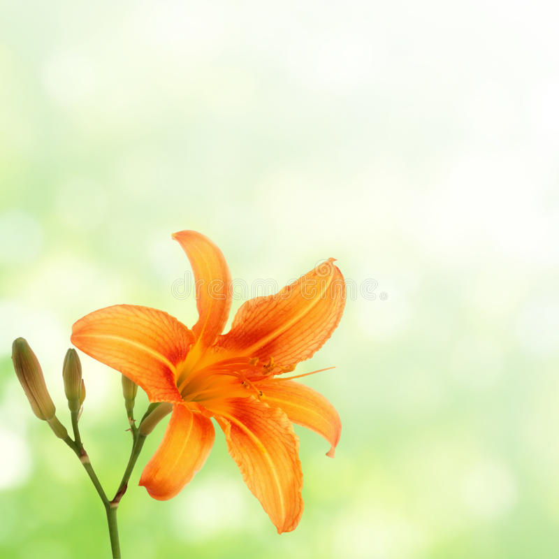 Free Orange Daylily On Green Stock Photos - 14851983