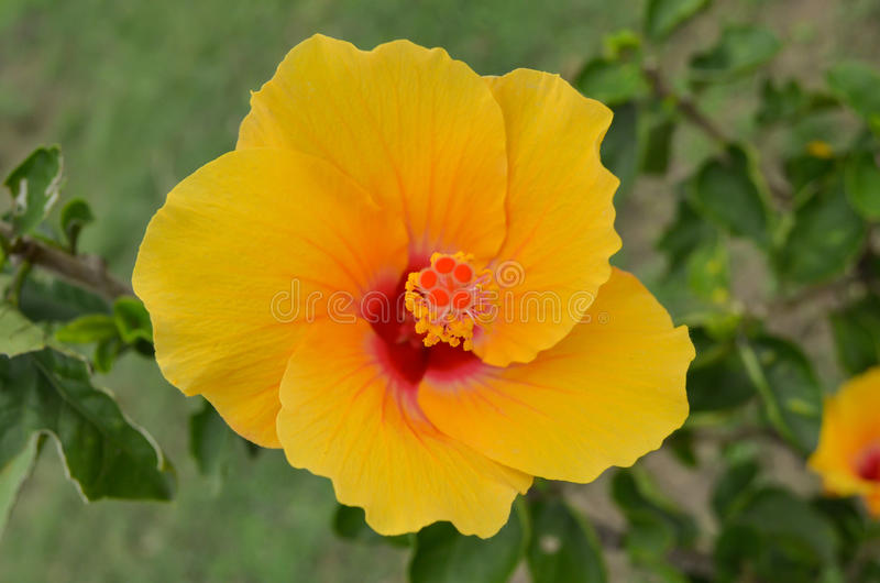 Orange de fleur de ketmie photos stock