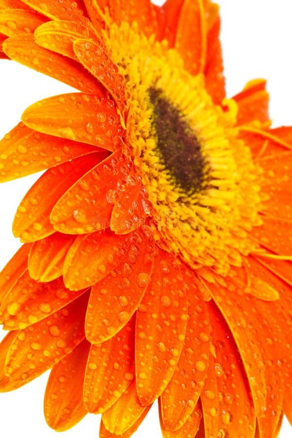 orange de gerber image libre de droits