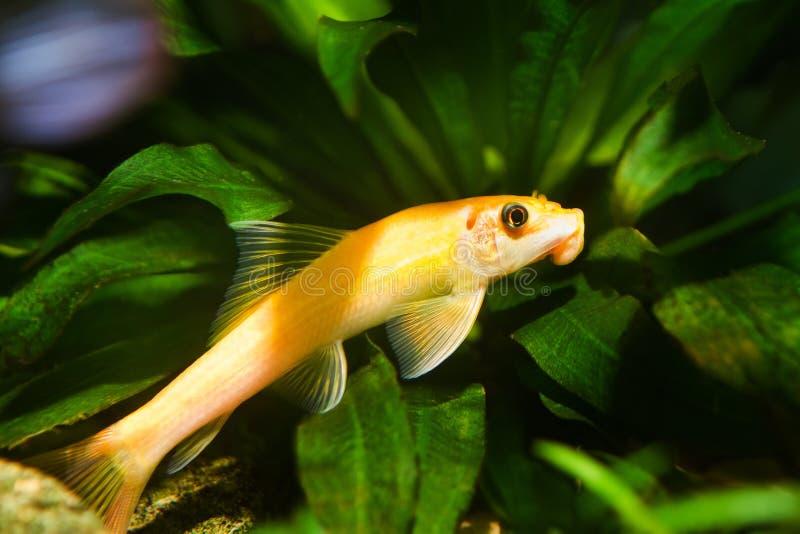 Orange de Gyrinocheilus, poisson de cypriniform d'eau douce, femelle dominante d'or dans l'aquarium de nature images stock