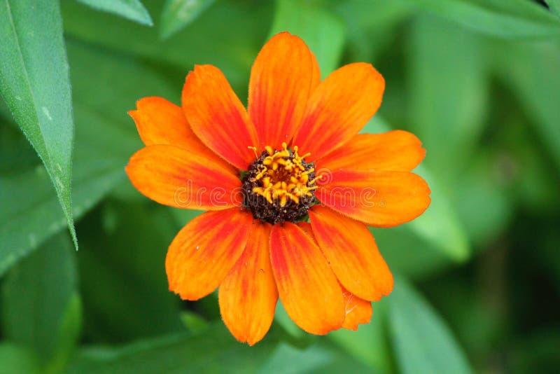 Download Orange de marguerite image stock. Image du fleur, automne - 45364183