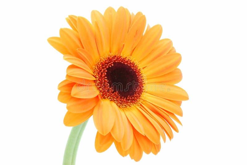 orange de marguerite images libres de droits