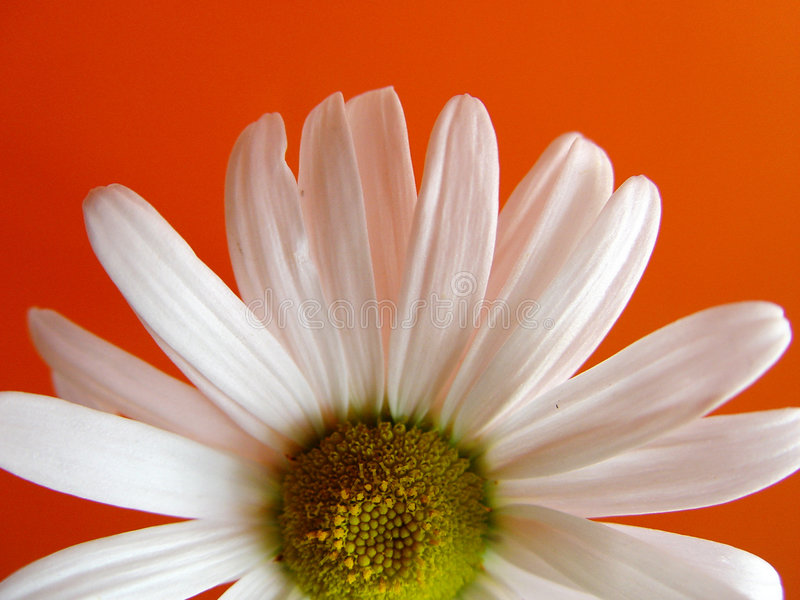 orange de marguerite d'été photographie stock