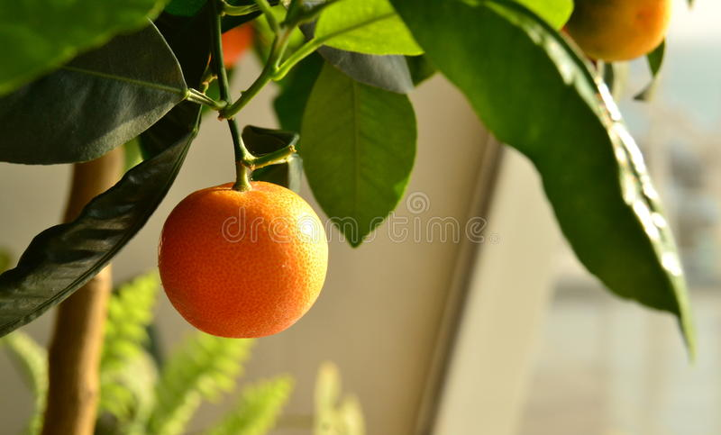 ORANGE. Decorative orange is growing in the room conditions royalty free stock images
