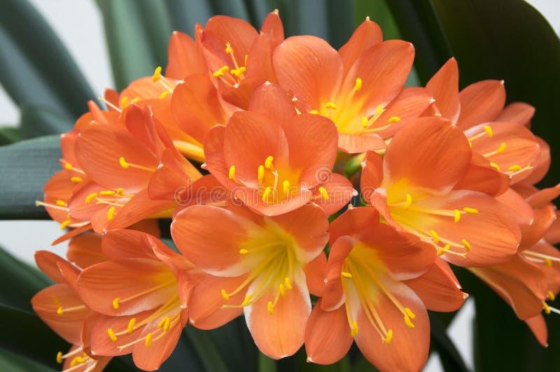 Orange dekorativ tropisk blomma för Clivia miniata, grupp av blommor royaltyfri bild