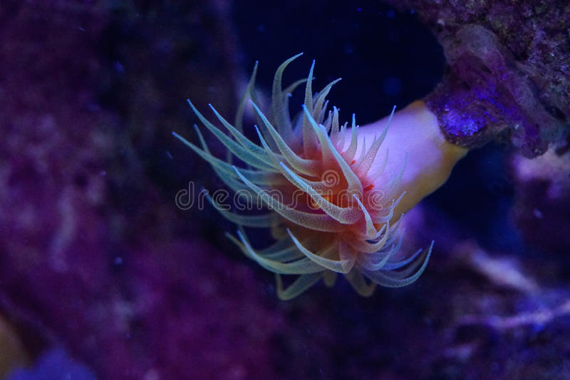 Orange Dendrophyllia Hard Coral Polyp. Orange non photosynthetic Dendrophyllia hanging upside down with Polyp tentacles extended stock photos