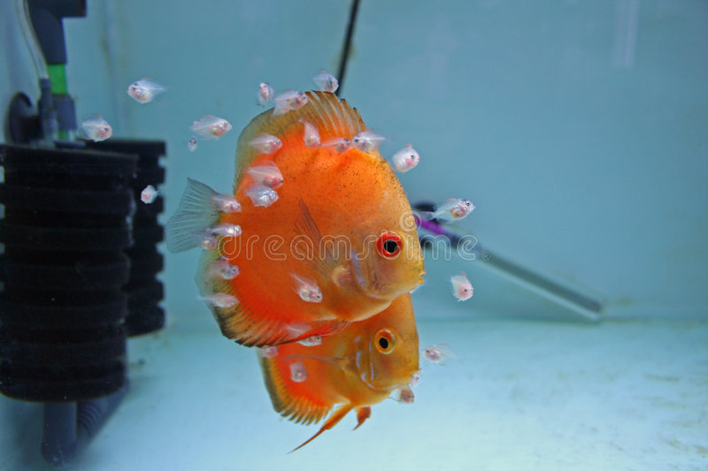 Download Orange Discus Fish With Babies Royalty Free Stock Images - Image: 5820779