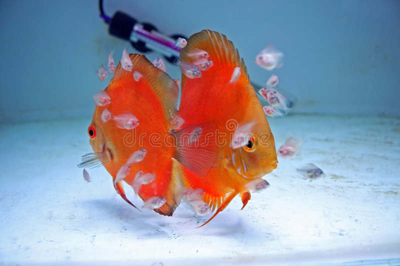 Download Orange Discus Fish With Babies Royalty Free Stock Photography - Image: 5820797