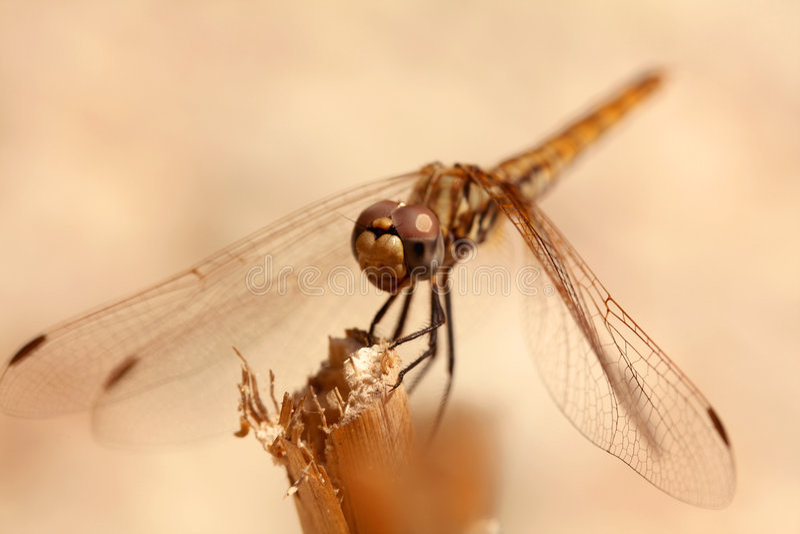 Orange Dragonfly Close Up stock images