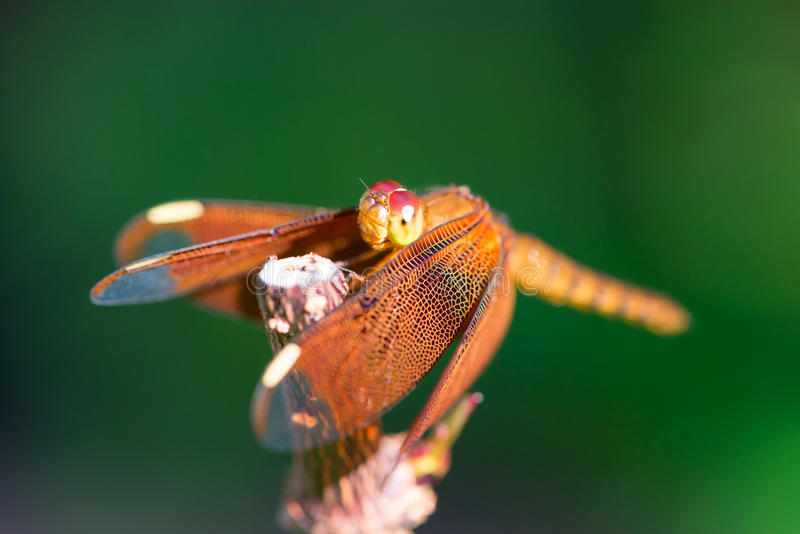 Download Orange Dragonfly Sitting On A Branch Stock Image - Image of resting, garden: 85267135