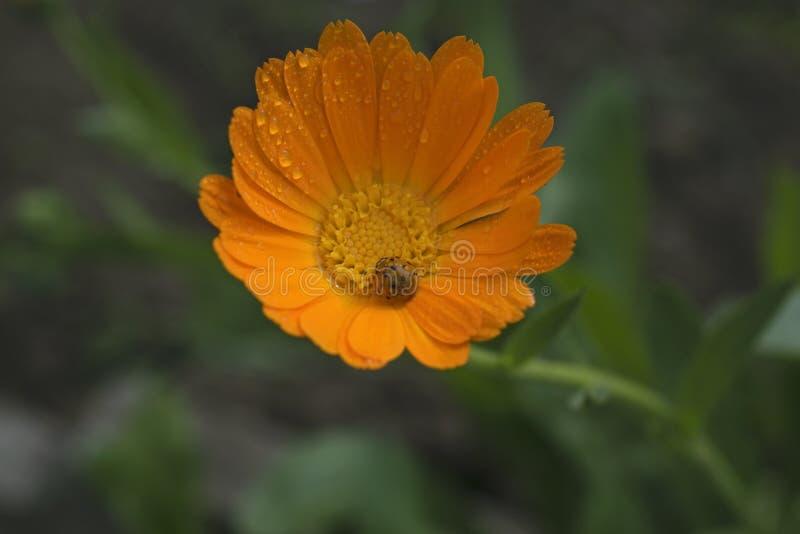 Orange dreams of ladybug stock image