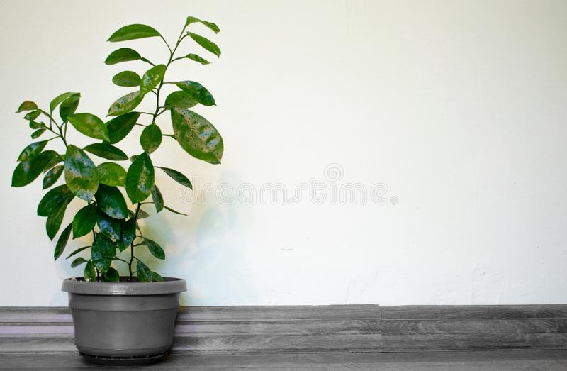 Orange dwarf grown in pots in the house for a beautiful and natural decoration. Space for text stock illustration