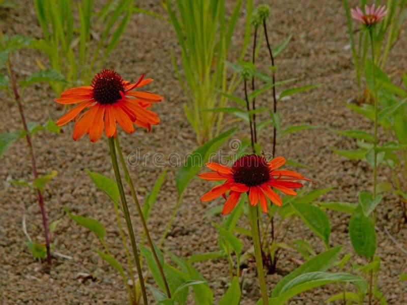 Orange echinecea coneflowers im Garten stockfotos