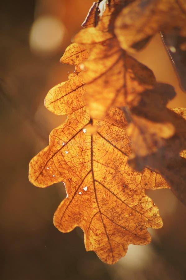 Orange Eichenblatt in der Herbstlandschaft stockfotografie