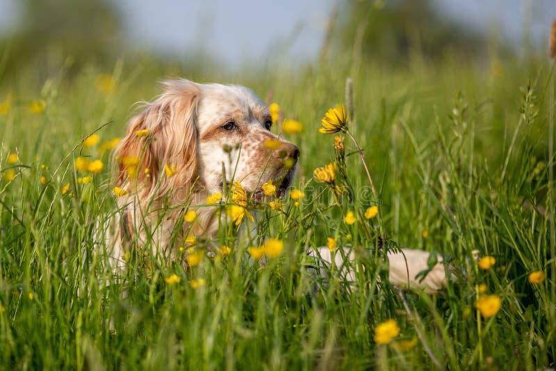 Orange englischer Setzer Belton, der im hohen Gras mit gelben Blumen sich versteckt stockfotos