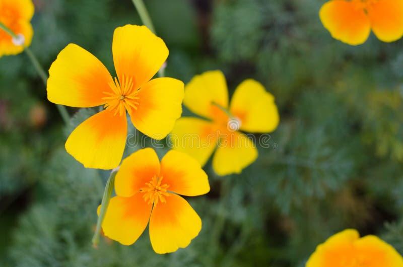 Orange eschscholzia mot bakgrund för grönt gräs Kalifornien vallmo arkivfoton