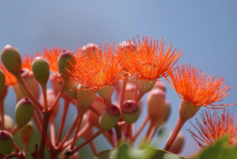 Orange eukalyptusträdblommor royaltyfri foto