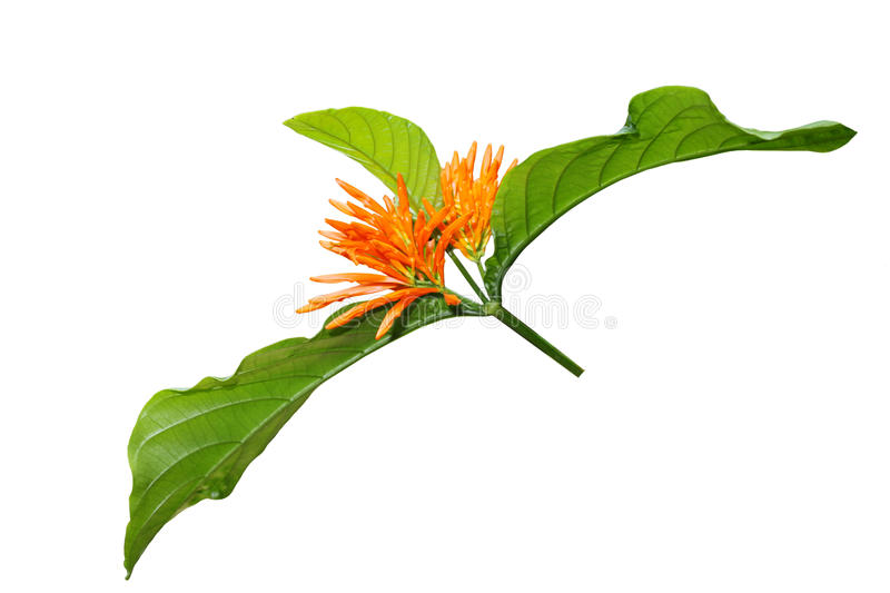Download Orange exotic flower stock image. Image of tropical, branch - 23973267