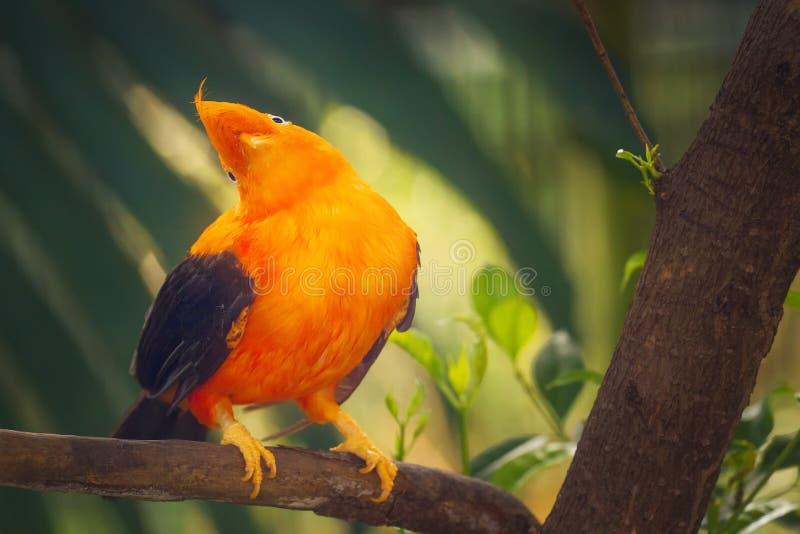 Orange färgrik fågel, Cotinga, hane på vagga royaltyfria foton