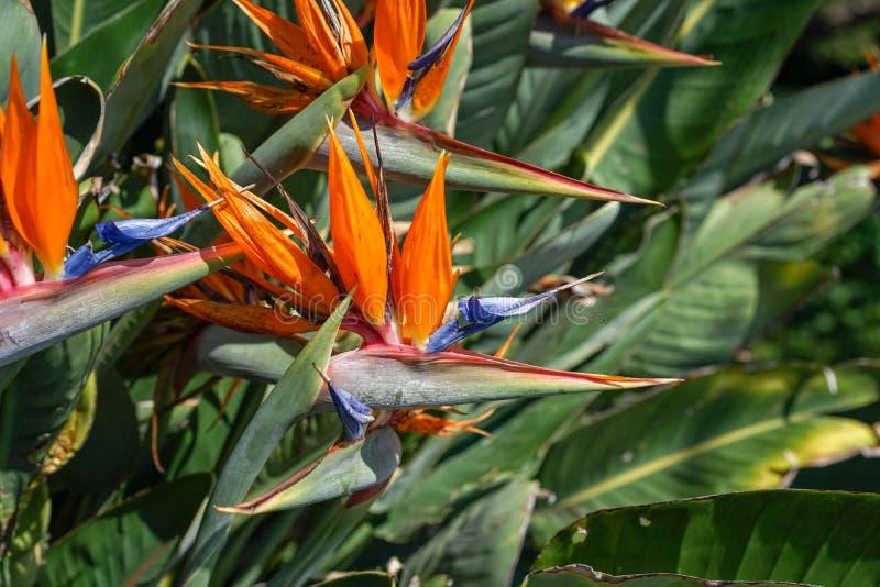Orange fågel av paradisblomman, Strelitziareginae, på gräsplanträdgårdbakgrund royaltyfria foton