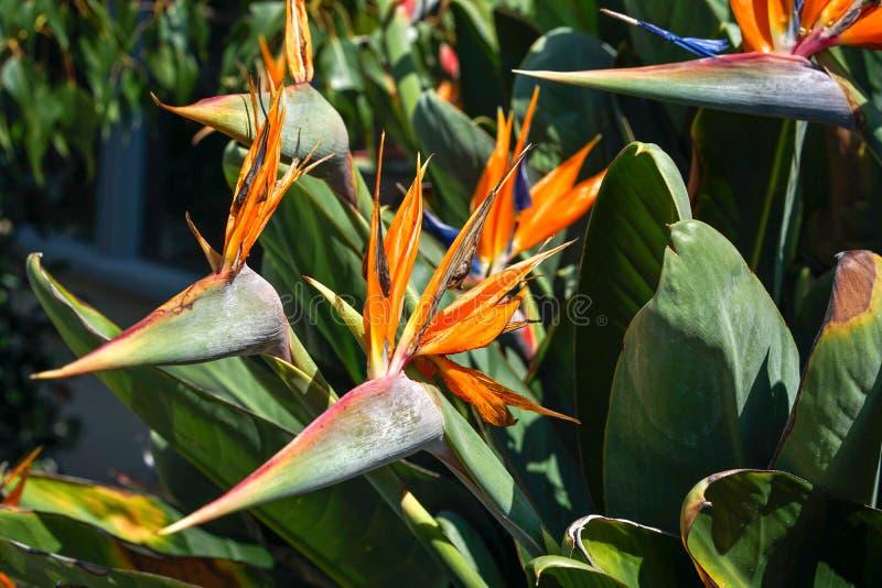 Orange fågel av paradisblomman, Strelitziareginaemalvaceae, på gräsplanträdgårdbakgrund arkivfoto
