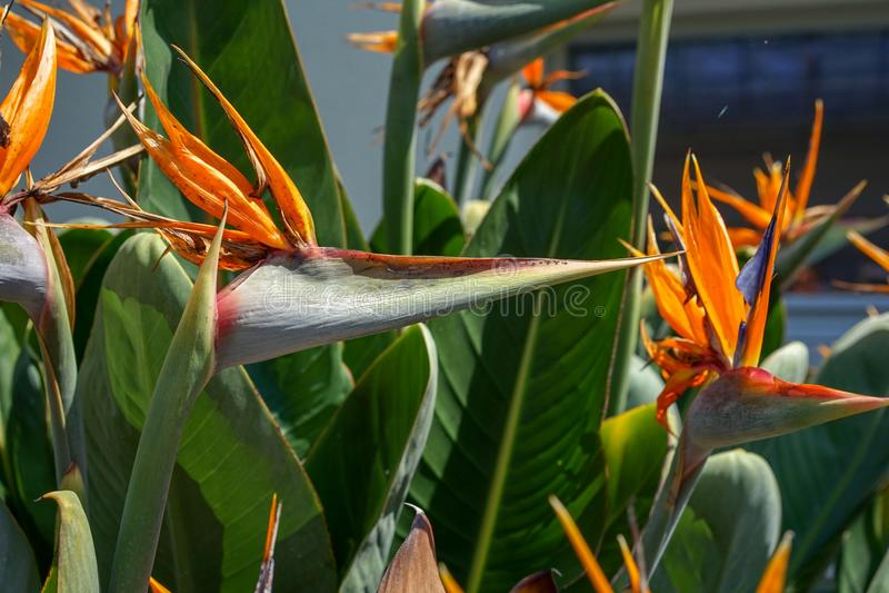 Orange fågel av paradisblomman, Strelitziareginaemalvaceae, på gräsplanträdgårdbakgrund arkivbilder