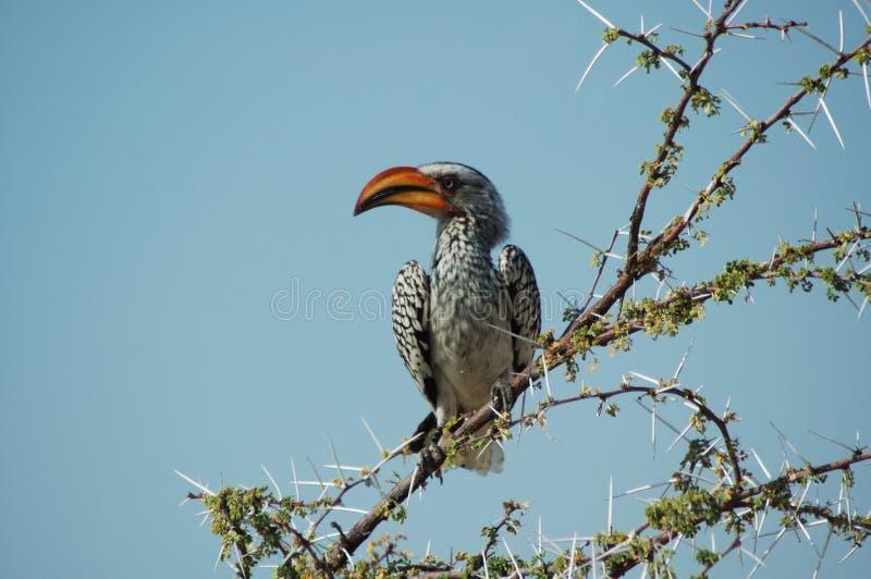Download Orange för 2 hornbill fotografering för bildbyråer. Bild av vingar - 234951