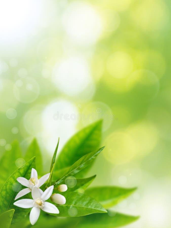 Orange för vårlodlinje för vita blommor bakgrund arkivfoto