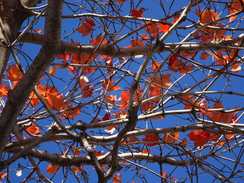 Orange fall leaves and a blue sky. Fall foliage with orange leaves and brown branches from low angle view royalty free stock photography