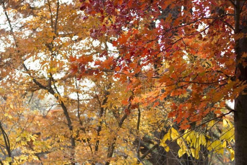 Orange fall tree with yellow trees in background. Horizontal photo with orange fall tree with yellow trees in background. Great for your blog posts, social media royalty free stock photos