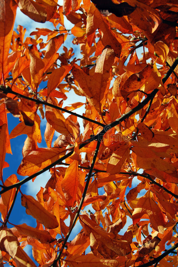 Orange Fallblätter auf einem Baum lizenzfreies stockfoto