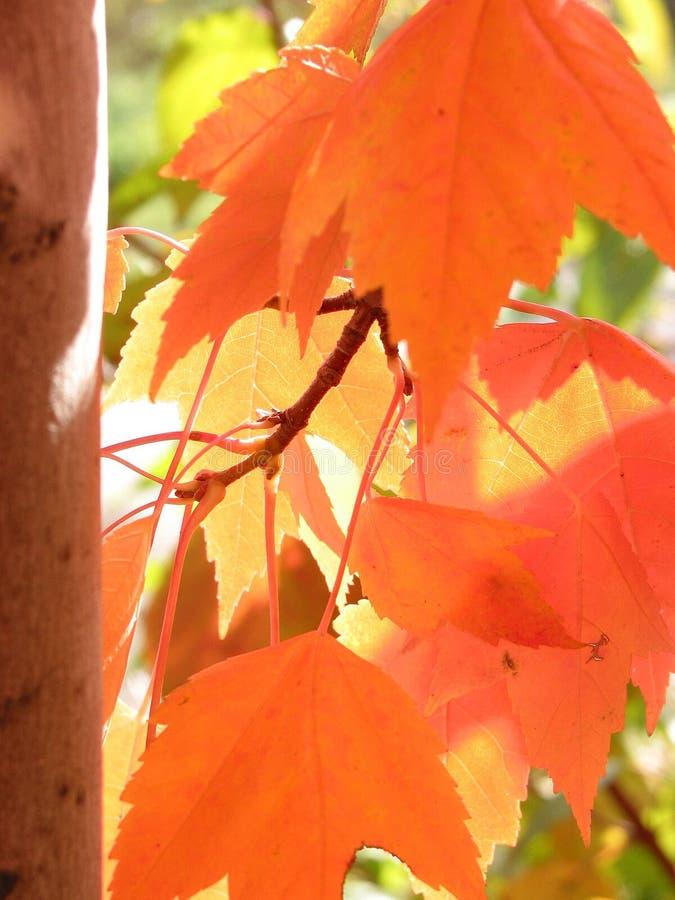 Orange Fallblätter, die sich im Sonnenlicht aalen stockbild