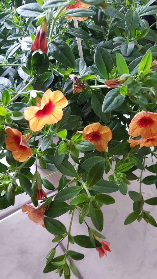 Orange Fallblumen stockfotografie