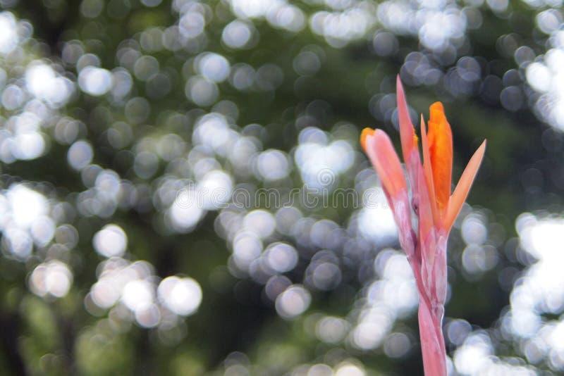 Orange Farbe der schönen Blume das canna, Klasse Canna-Unschärfenaturgrün bokeh Hintergrund stockfotos