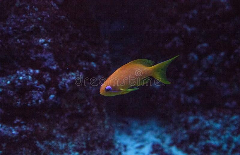 Orange feenhaftes basslet nannte auch Meer-goldie Pseudanthias-squamip lizenzfreies stockbild